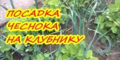 Как посадить чеснок по клубнике / Органическое земледелие