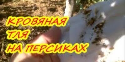 Кровяная тля на персиках / Защита от вредителей осенью
