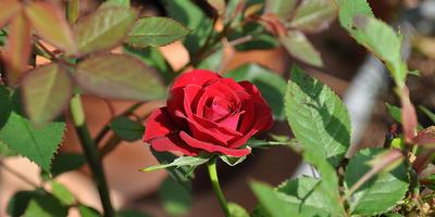 Как пересадить розу осенью / Органическое земледелие