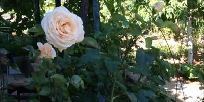 Розы летом. Обрезка. Подкормка. Уход