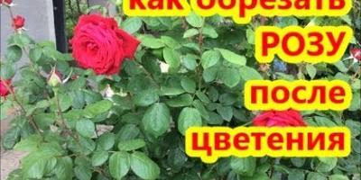 Как обрезать розы после цветения. Розы летом