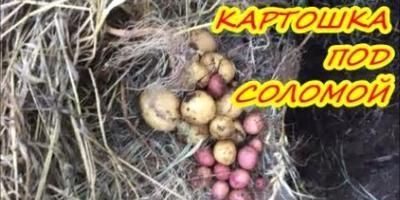 Эксперимент картошка под соломой. Органическое земледелие на Юге