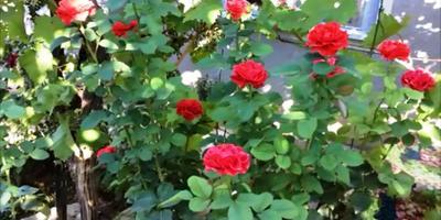 Дачный блог. Август. Мой сад в августе. Ответы на вопросы блога