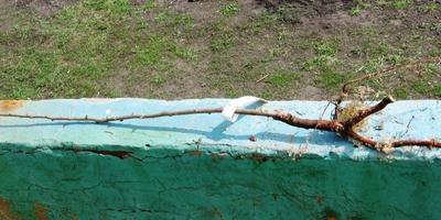 При посадке саженца алычи нужно ли укорачивать ствол?