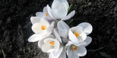 Весенние цветы моего сада, апрельская волна