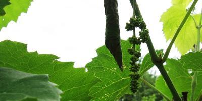Избавляемся от листовертки на винограде. Тестируем препарат Искра Двойной Эффект