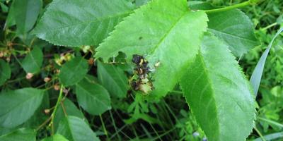 Искра Двойной Эффект. Обработка вишни от вредителей