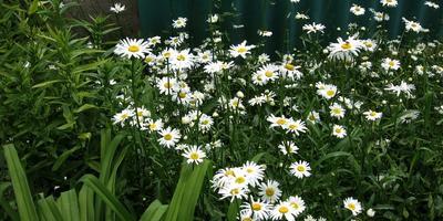 """Цветы в моем саду: ромашка и её """"ромашковидные"""" друзья"""