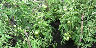Мой огород в конце июня. Приглашаю на утренний обход! (часть 2)