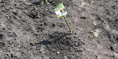 Энерген АКВА. Вторая проверка всходов кукурузы. Дальнейшее развитие растений