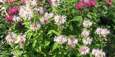 Цветы в моем саду: многолетняя монарда - умница и красавица