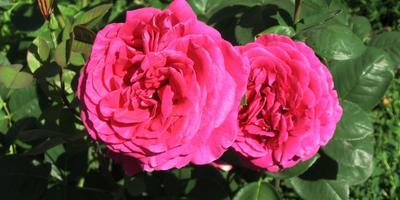 Цветы в моем саду: в начале лета балом правят розы (часть 2)