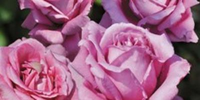 В поисках хороших саженцев роз тестирую питомник Меховских. Цветение, проверка соответствия сорту