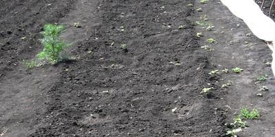 Энерген АКВА. Проверка всходов семян огурцов, посеянных в открытый грунт
