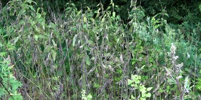 Тестирование препарата от злостных сорняков «Граунд». Проверка обработаного участка через месяц