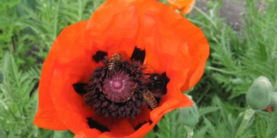 Мак восточный Бриллиант - алое украшение майских цветников