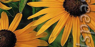 Хочется больше  солнца вокруг - посадите в цветниках рудбекию