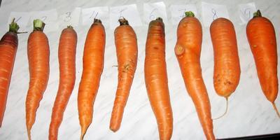 Шантенэ - любимая морковка нашей семьи. И это не просто сорт!