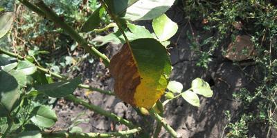 Что за болезнь проявилась на листьях у моих роз?