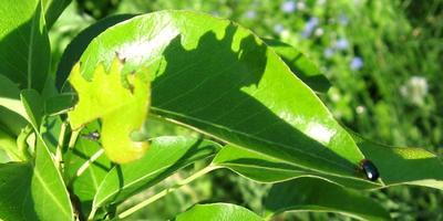 Какой-то жук каждую весну обгрызает молодые груши. Помогите определить злодея!