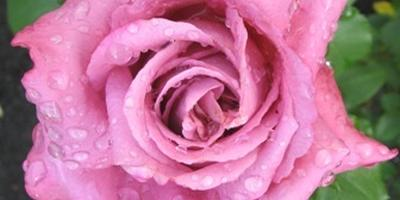 Королевский отбор: выбираю розы для ароматной коллекции