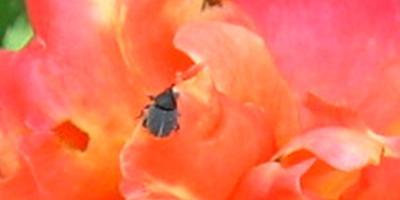 Как называется это насекомое и является ли вредителем?