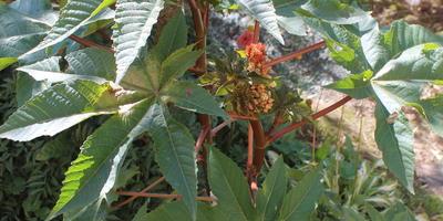 Что это за растение? Перезимует ли оно?