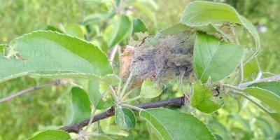 Помогите определить вредителя яблони и груши. Как с ним бороться?
