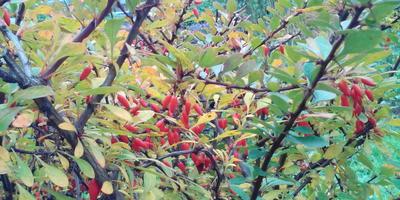 Что это за кустарник и можно ли есть его ягоды?