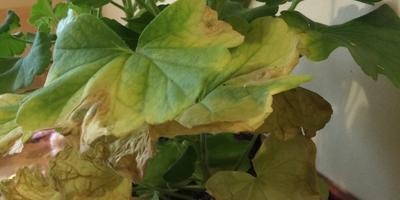 Желтеют листья герани и рассады огурцов. В чем причина?