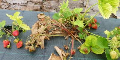 Желтеют и сохнут листья земляники, что делать?