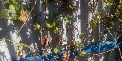 Помогите определить болезнь винограда и чем ее вылечить?