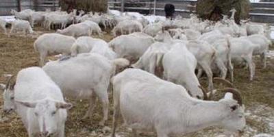 Про пуховых коз