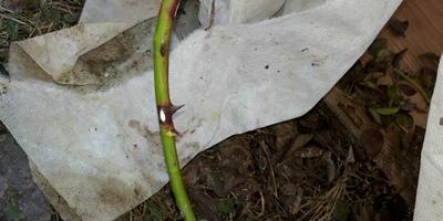 На плетистой розе на одном из побегов после зимы прямо по середине побега появился инфекционный ожог. Что делать?