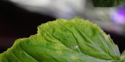 Чем заболела рассада тыквы?