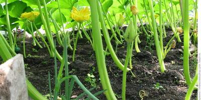 Как вырастить гигантскую тыкву