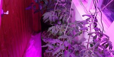 """Выращиваю томат для конкурса """"Лучший урожай томатов от Партнера"""" на балконе. Часть 4"""