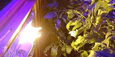 """Выращиваю томат для конкурса """"Лучший урожай томатов от Партнера"""" на балконе. Часть 5"""