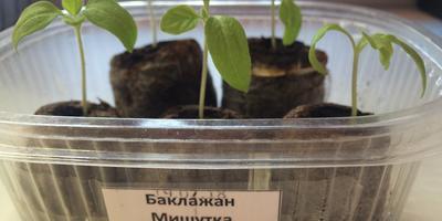 Баклажан Мишутка. III этап. Развитие растений и уход за ними. Пикировка рассады