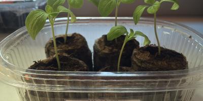 Баклажан Черный Русский F1. III этап. Развитие растений и уход за ними. Пикировка рассады