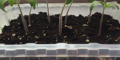 Томат Амурский Тигр. III этап. Развитие растений и уход за ними. Пикировка рассады