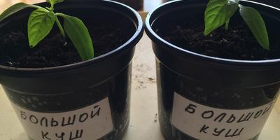 Перец сладкий Большой Куш. III этап. Развитие растений и уход за ними. Пикировка рассады