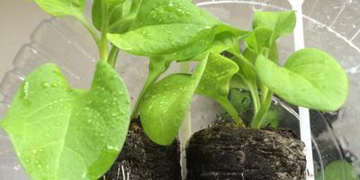 Петуния Варвара Краса F1. IV этап. Развитие растений