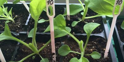 Как размножить гибридные петунии