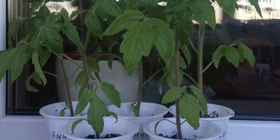 Домашнее задание №10: как я выращиваю рассаду томатов