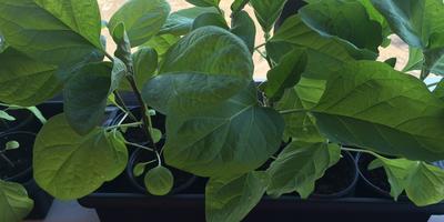 Домашнее задание №9: как я выращиваю рассаду перца и баклажана