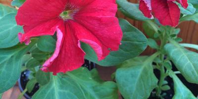 Петуния Марко Поло красно-белая F1. IV этап. Развитие растений и уход за ними. Первое цветение
