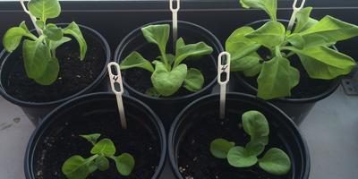 Петуния Марко Поло лимонно-синяя  F1. IV этап. Развитие растений и уход за ними