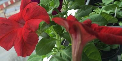 Комплиментуния Красная F1. IV этап. Развитие растений и уход за ними. Первое цветение