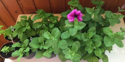 Петуния Варвара-Краса F1. IV этап. Развитие растений и уход за ними. Первое цветение